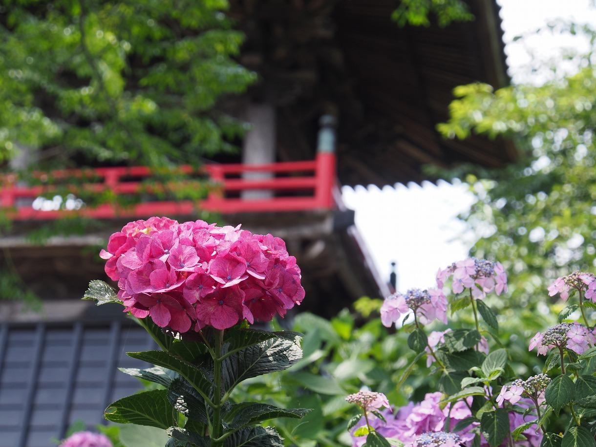 【 あじさい 】熊谷市・能護寺  【 撮り方 】