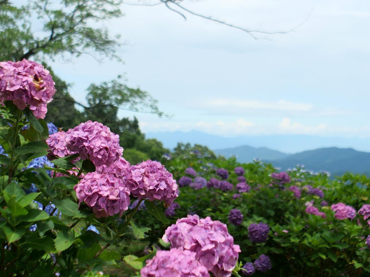 【美の山公園】天空のあじさい【秩父】